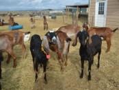 Goat Dairy Cheese Making Apprenticeship
