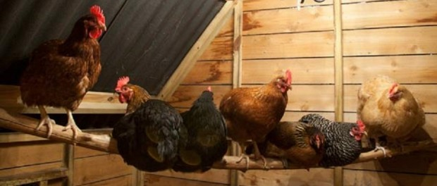 Chickens Roosting by This Old House