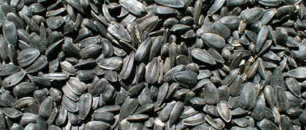 Black Oil Sunflower Seeds by PRD Seed