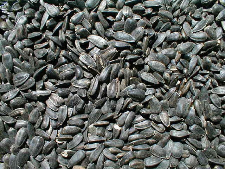 black sunflower seeds maturity black sunflower seeds images