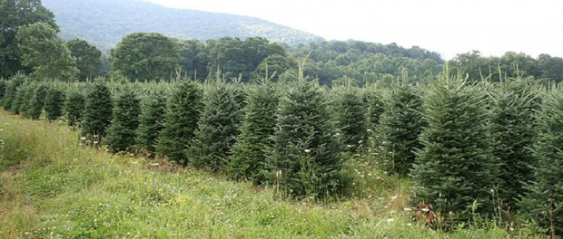 Christmas Tree Farming by High Country Christmas Trees