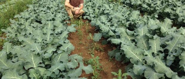 giant kale