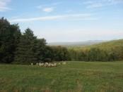 Vermont Sheep Farm