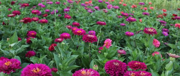 Cut Flower Farm