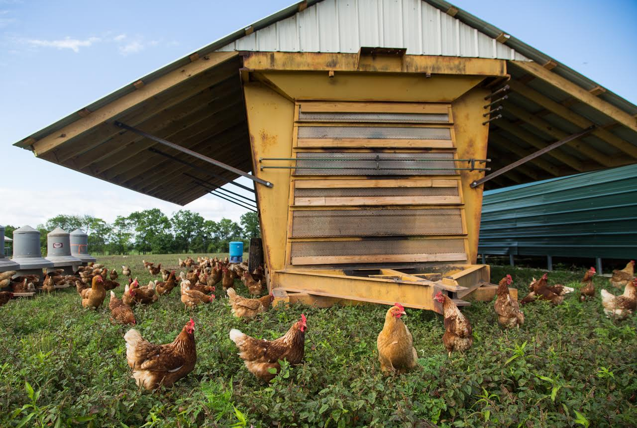 pastured poultry production
