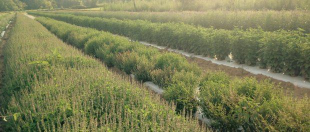 medicinal herb farm